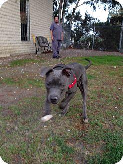 American Pit Bull Terrier/Labrador Retriever Mix Dog for adoption in San Diego, California - Samson