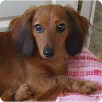 Adopt A Pet :: Belle - Bryan, TX