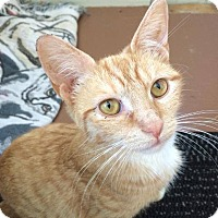 Domestic Shorthair Cat for adoption in Youngstown, Ohio - Lucky Penny