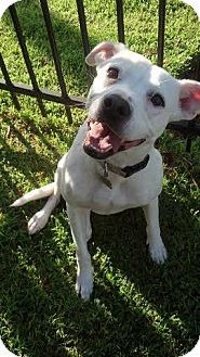 Pit Bull Terrier/Pointer Mix Dog for adoption in Baton Rouge, Louisiana - Francis