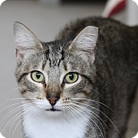 Domestic Shorthair Cat for adoption in Sarasota, Florida - Tippsie