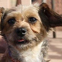 Dachshund/Brussels Griffon Mix Dog for adoption in Colorado Springs, Colorado - Vivian