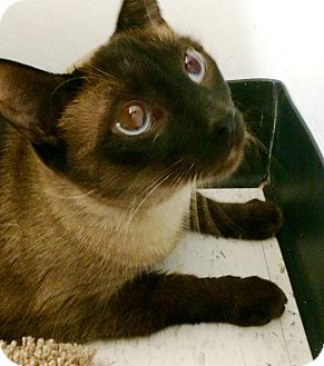 Siamese Cat for adoption in Lake Elsinore, California - Adam