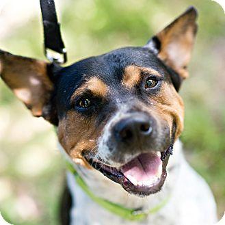 Australian Cattle Dog/Beagle Mix Dog for adoption in Houston, Texas - Bobo