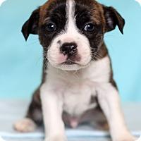 Adopt A Pet :: Pete - Waldorf, MD
