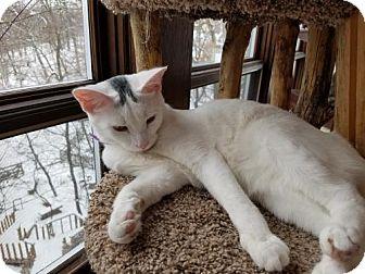 Domestic Shorthair Cat for adoption in Verona, Wisconsin - Johnny Winter & Jewel (Bonded)