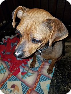 Miniature Pinscher Mix Dog for adoption in Oakland, Michigan - Roxie