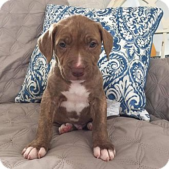 American Pit Bull Terrier Puppy for adoption in Greensboro, North Carolina - Bobby