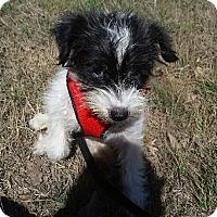Adopt A Pet :: Pearl - springtown, TX