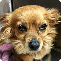 Adopt A Pet :: Buttercup - Las Vegas, NV