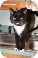 American Shorthair Cat for adoption in Lake Ronkonkoma, New York - Jamie