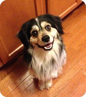 Sheltie, Shetland Sheepdog/Cocker Spaniel Mix Dog for adoption in Bridgeton, Missouri - Tonka