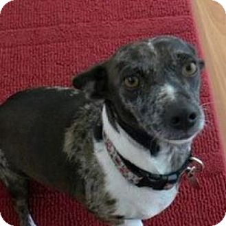 Dachshund/Terrier (Unknown Type, Small) Mix Dog for adoption in Gig Harbor, Washington - Lilly