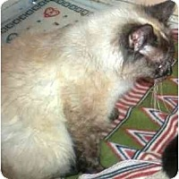 Adopt A Pet :: Cleo - Summerville, SC