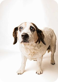 Beagle/Hound (Unknown Type) Mix Dog for adoption in Hendersonville, North Carolina - Dolly