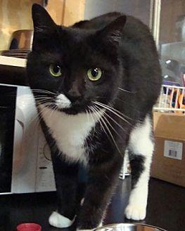 Domestic Shorthair Cat for adoption in Stone Mountain, Georgia - Nip