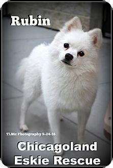 Spitz (Unknown Type, Small) Dog for adoption in Elmhurst, Illinois - Rubin
