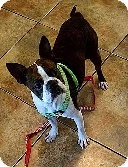Boston Terrier Dog for adoption in Van Vleck, Texas - Paisley