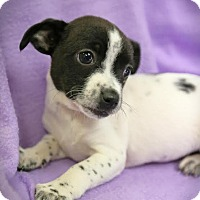Adopt A Pet :: Mickey - Harrisonburg, VA