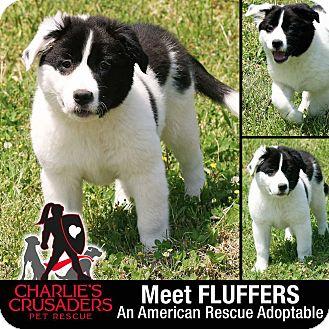 Newfoundland/American Bulldog Mix Puppy for adoption in Spring City, Pennsylvania - Fluffers