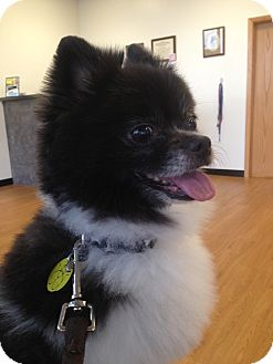 Pomeranian Dog for adoption in North Olmsted, Ohio - Bentley