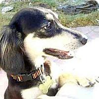 Adopt A Pet :: Sasha-ADOPTION PENDING - San Jose, CA
