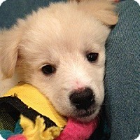 Adopt A Pet :: Ginny Pup - White River Junction, VT