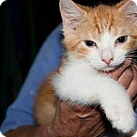 Adopt A Pet :: Pumpkin - New Egypt, NJ