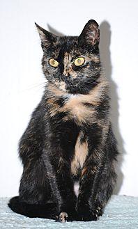 Domestic Shorthair Cat for adoption in Middletown, New York - Harvest
