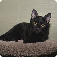 Adopt A Pet :: Ash - Medina, OH