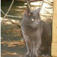 Domestic Shorthair Cat for adoption in Naples, Florida - Gordon