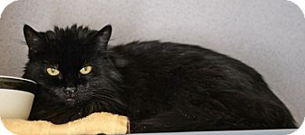 Domestic Longhair Cat for adoption in Gardnerville, Nevada - Milly