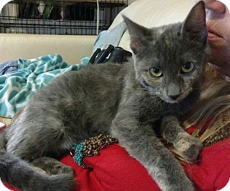 American Shorthair Cat for adoption in Texarkana, Arkansas - Delilah