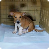 Adopt A Pet :: Scoobydoo - mooresville, IN