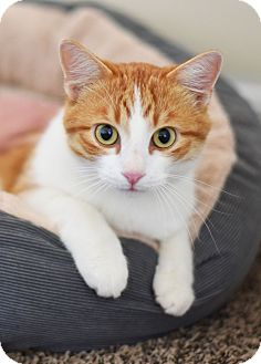Domestic Shorthair Cat for adoption in Xenia, Ohio - A.J.