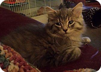 Domestic Longhair Kitten for adoption in Kalamazoo, Michigan - Ajax - Chelsea
