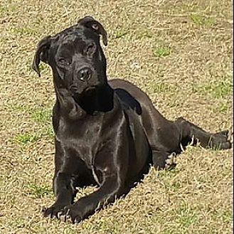 Shar Pei/American Pit Bull Terrier Mix Dog for adoption in Shreveport, Louisiana - Inky
