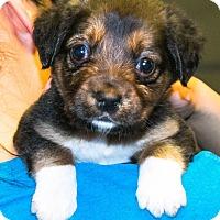 Border Collie Mix Puppy for adoption in Bellevue, Nebraska - Marty