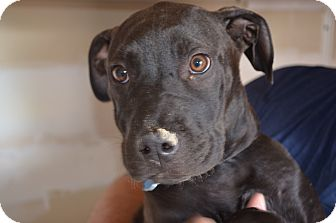 American Staffordshire Terrier Mix Puppy for adoption in Westminster, Colorado - Riley