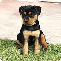 Adopt A Pet :: Scrappy - La Habra Heights, CA