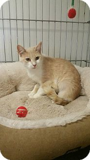 Domestic Shorthair Cat for adoption in Owenboro, Kentucky - TAFFY!