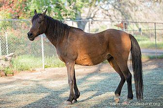 Arabian for adoption in El Dorado Hills, California - Layla