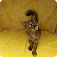 Adopt A Pet :: Tiger Lily-Super Sweet - Arlington, VA