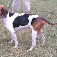 Adopt A Pet :: Callie - Seguin, TX