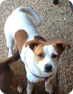 Jack Russell Terrier Dog for adoption in Austin, Texas - Pretty Girl in Arkansas