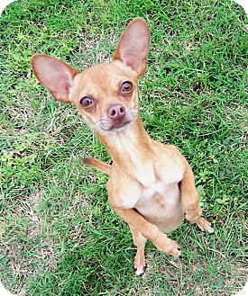 Chihuahua Dog for adoption in San Angelo, Texas - Manny