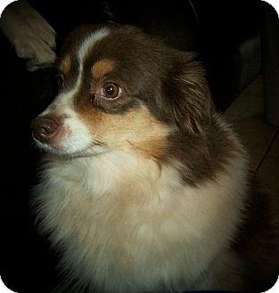 Australian Shepherd Dog for adoption in Abilene, Texas - Ginger