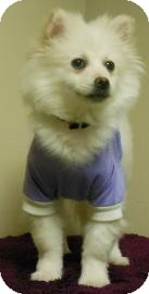 Pomeranian/American Eskimo Dog Mix Puppy for adoption in Gary, Indiana - Snowy