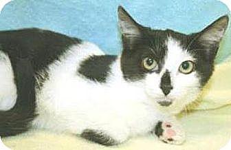 Domestic Shorthair Cat for adoption in Miami, Florida - Bunny Rabbit