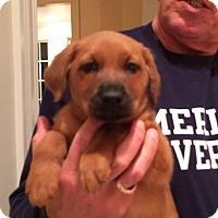 Adopt A Pet :: Bear - Brazil, IN